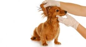 Die Ohrenpflege bei Hund und Katze